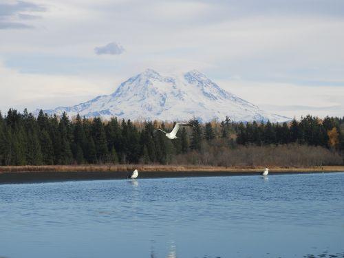 mt rainier seagulls scenic