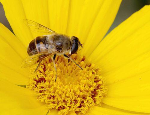 daug kamufliažas,bičių,makro,išvaizda,upodobnienie,žmonėms,gėlė,geltona,žiedadulkės,Iš arti,flora,makrofotografija,augalas,apdulkina,išplistų