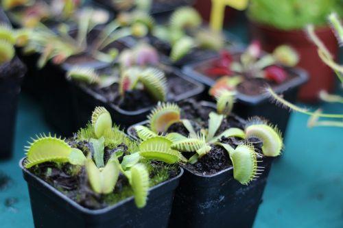 muchołapka plant insectivorous