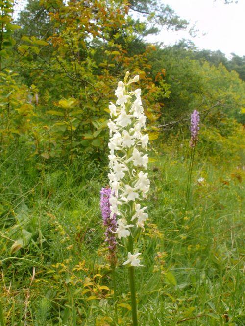 mückenwurz albino german orchid rarely