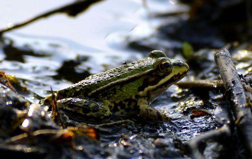 mud pools frog