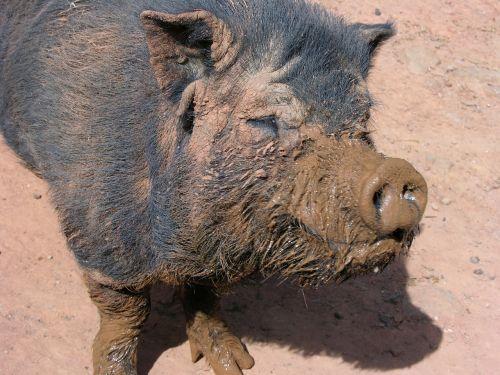 muddy pig farm