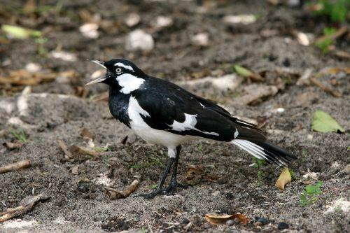 mudlark australian magpie-lark