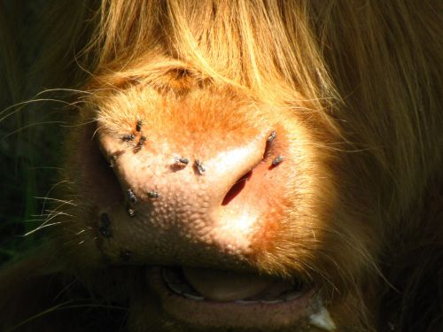 Muzzle Of A Highland Cow