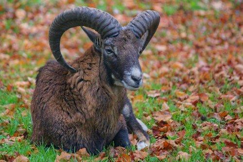 muflon  sheep  aries