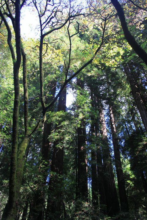 muir,mediena,medžiai,miškas,parkas,gamta,Kalifornija,nacionalinis,kraštovaizdis,bagažinė,milžinas,lapija
