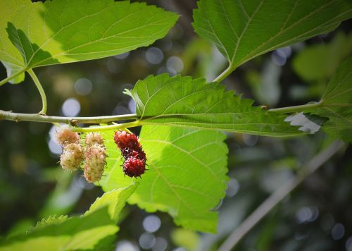 mulberry blackberry berries