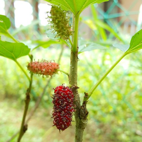 mulberry food healthy