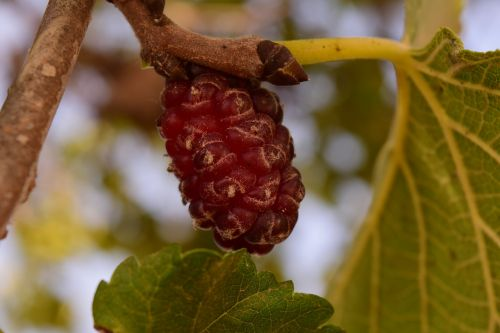 mulberry tree mulberry food