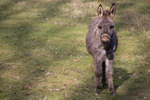 mule donkey cuddly