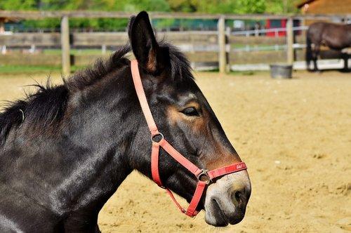 mule  muli  donkey