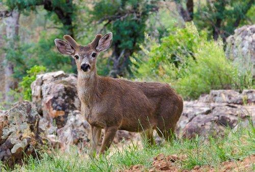 mule deer  usa  mariposa