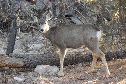 mule deer doe animal