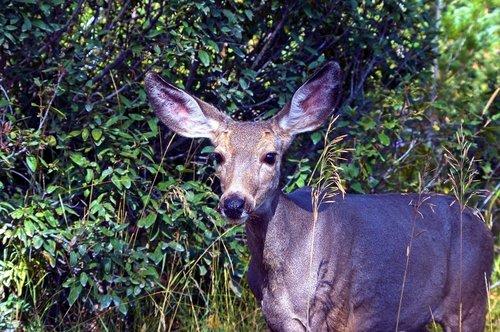 mule deer doe  animal  deer