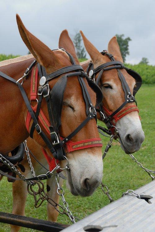 mules  animal  donkey