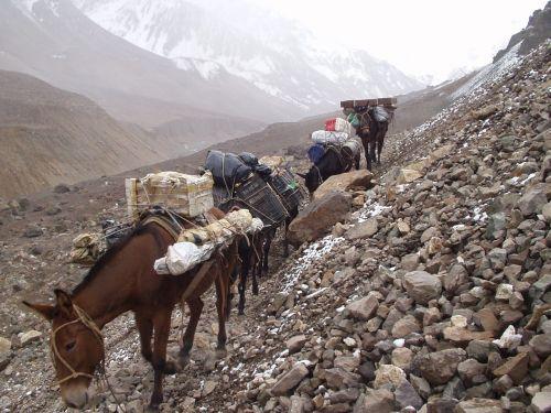 muli donkey wear animal