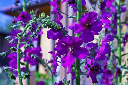 mullein purple flower garden