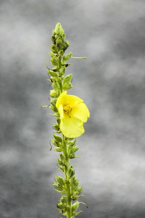 mullein blossom bloom