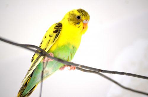 Multi Color Parakeet