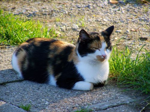 multicolored cat pets black white and brown
