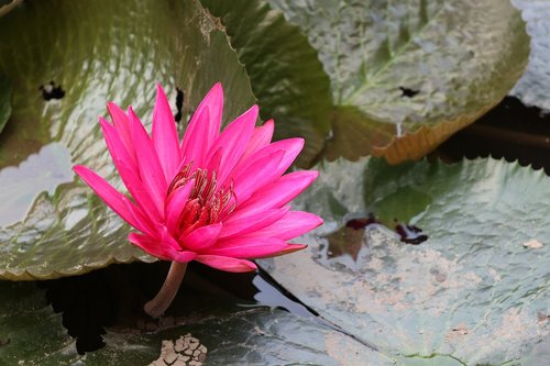 multiple  waterlily  pink