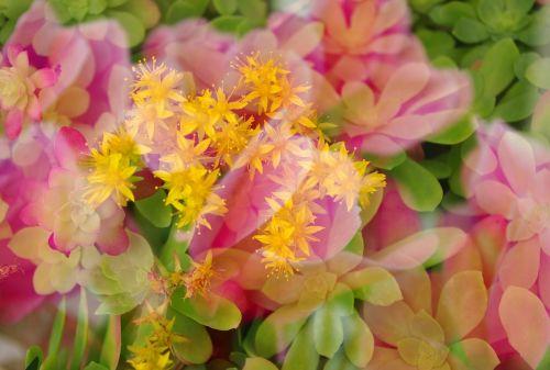 multiple exposure flowers warm colors