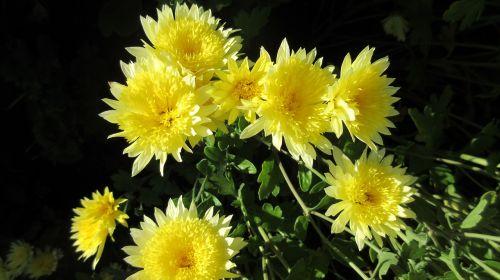 mum flower yellow