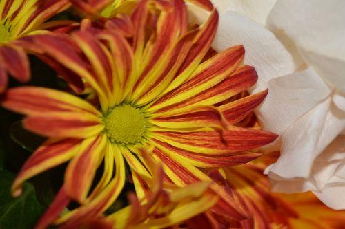 Mum Flower Love Colorful Vine