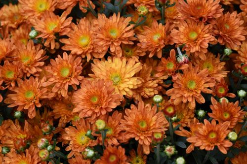 mums flowers orange