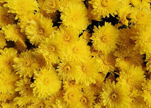 mums flowers fall