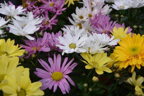 mums flowers colors