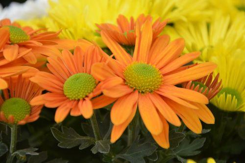mums,gėlės,oranžinė,gėlės gėlės,gamta,toussaint,botanika,gėlės krinta,žydėjimas,žiedlapiai,augalas,kritimas,gėlės oranžinės geltonos spalvos,pasiūlymas,gėlės gamta,flora,geltona gėlė