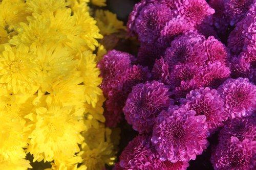 mums  purple  yellow
