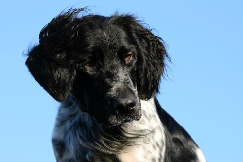 munsterlander dog head