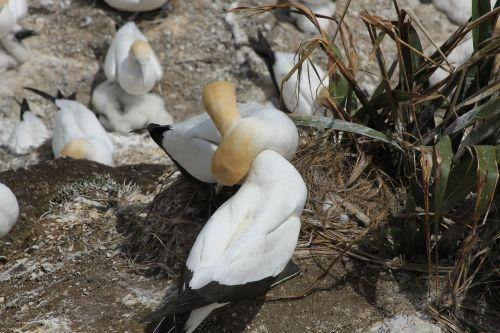 murawai gannet colony sea