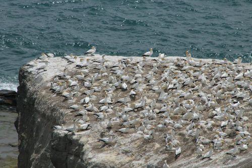 murawai gannet colony landscape