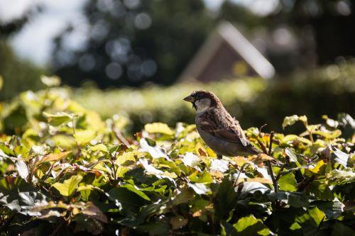 mus bird heg