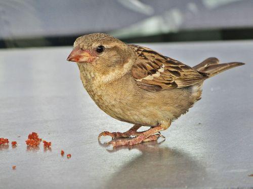 mus bird homester