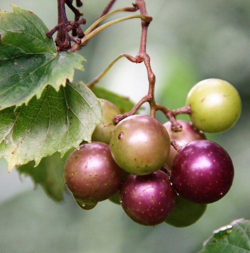 muscadine  grapes  green