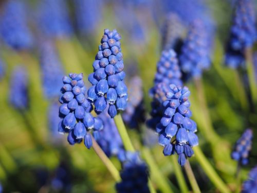 muscari blossom bloom