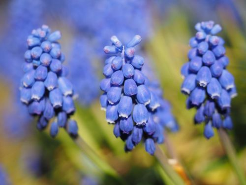 muscari common grape hyacinth blossom