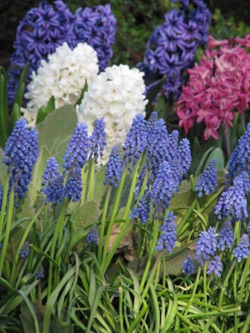 muscari hyacinthus grape hyacinth