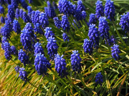 muscari flowers blue