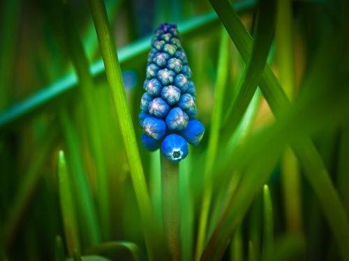 muscari hyacinth spring