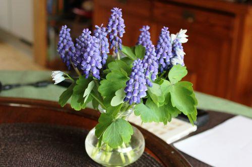 muscari vase blue
