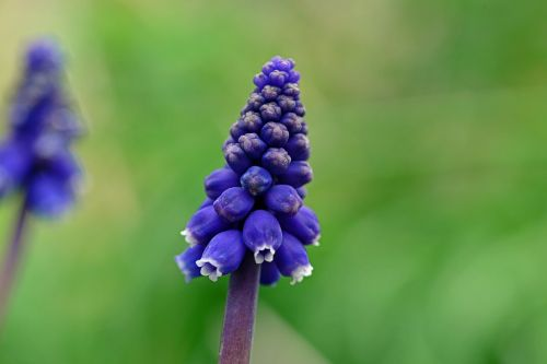 muscari grape hyacinth mediterranean baby's breath