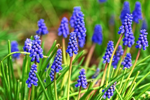 muscari  graph hyacinth  flower