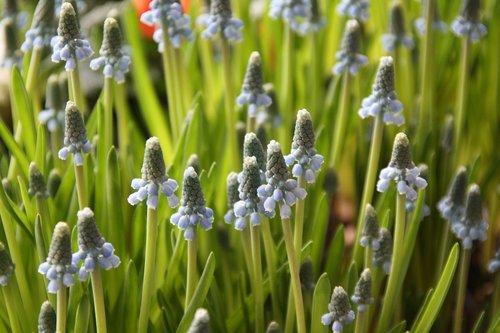 muscari  traubenförmige inflorescences  inflorescences