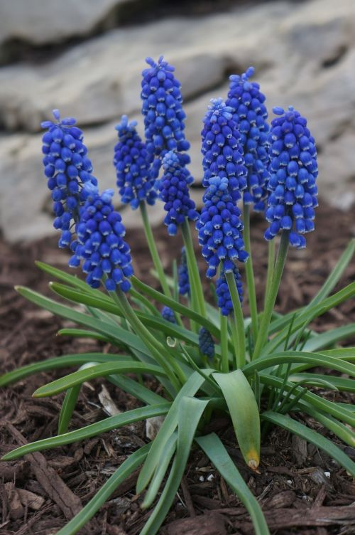 muscari perennial bulbous blue