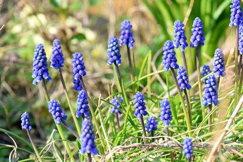 muscari  flower  spring